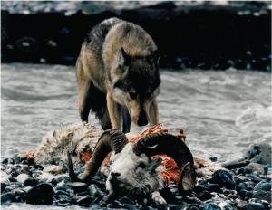 wolfeatingsheep